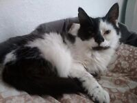 Black/white fluffy cat looking for a loving home