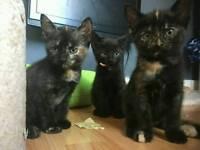 Black Turkish angora mix kittens (shepherds Bush)