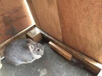 Rabbit silver Nederland drwaf