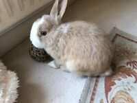 SWEET MALE BABY MINI LOP 5 MONTHS OLD