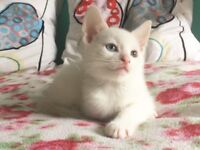 Pure White X Russian white Kittens For sale