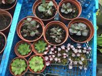 Succulents Plants £2 each pot