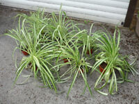 Seven Spider Plants - Various Sizes