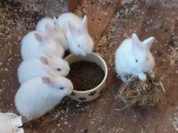 Rabbits baby New Zeland Whites