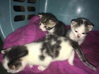 Gorgeous kittens ready 20th December!