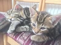 Beautiful Bengal kittens ready for a new home.. male and female available