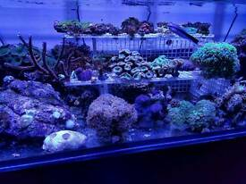 Corals for marine aquarium. Sps. Lps. Zoas.
