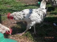 Trio of Splash Maran Chickens