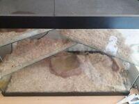Unsexed corn snake