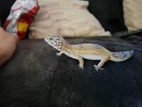 Female - leopard gecko