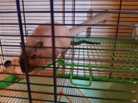 2 healthy, friendly male gerbils 6 months old