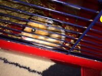 Free to a good home Hamster & Cage