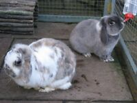 Rabbits - Pair of female dwarf lops. 3 years old and neutered.