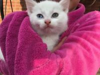White kitten, different eyes