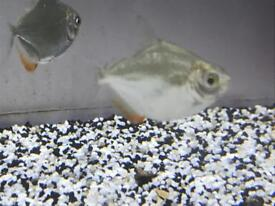 Silver dollar peaceful community tropical fish