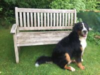 Bernese mountain dog for sale due to family circumstances
