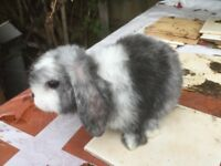 Cute furry mini lop rabbits