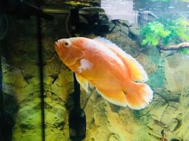 Xl Albino Oscar for sale