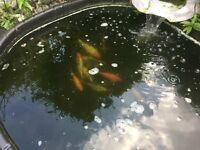 Fish plus pond, full set up.