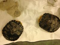 """hello guys. I have x2 stunning yellowbelly terrapins for sale. both approx 6"""" big"""