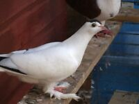 Mix pigeons for sale