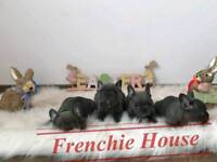 KC Reg Pure Blue French Bulldog Puppy for Sale