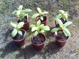 6 Zinnia flower plug plants maroon/red