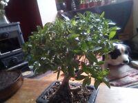Serissa Foetida (Snow Rose) bonsai