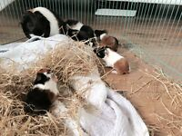 Baby Guinea Pig's
