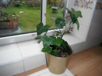 An English Ivy (Hedera helix)Plant in a gold ceramic pot (14 cm)