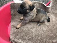 8 week old German shepherd puppy for sale
