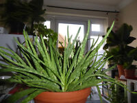 Aloe Vera herbal plants, evergreen for sale. Mothers' Day