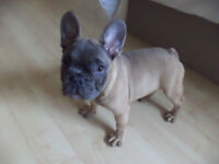 KC Reg Blue French Bulldog Puppies For Sale 14 Weeks Old (Ready Now)