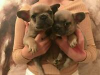Blue fawn French bulldogs ready now