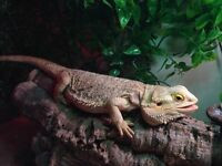Bearded Dragons, Vivariums and Accessories for sale