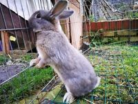 Young Male Rabbit Rex Mix born July '16