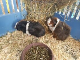 Guinea pigs for sale.