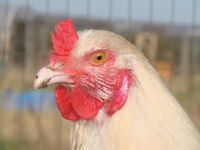 Vale Of Belvoir, Melton Mowbray & Grantham Area Poultry Sales