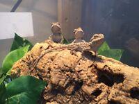 Baby Bearded Dragons - Leatherback - Citrus x Orange