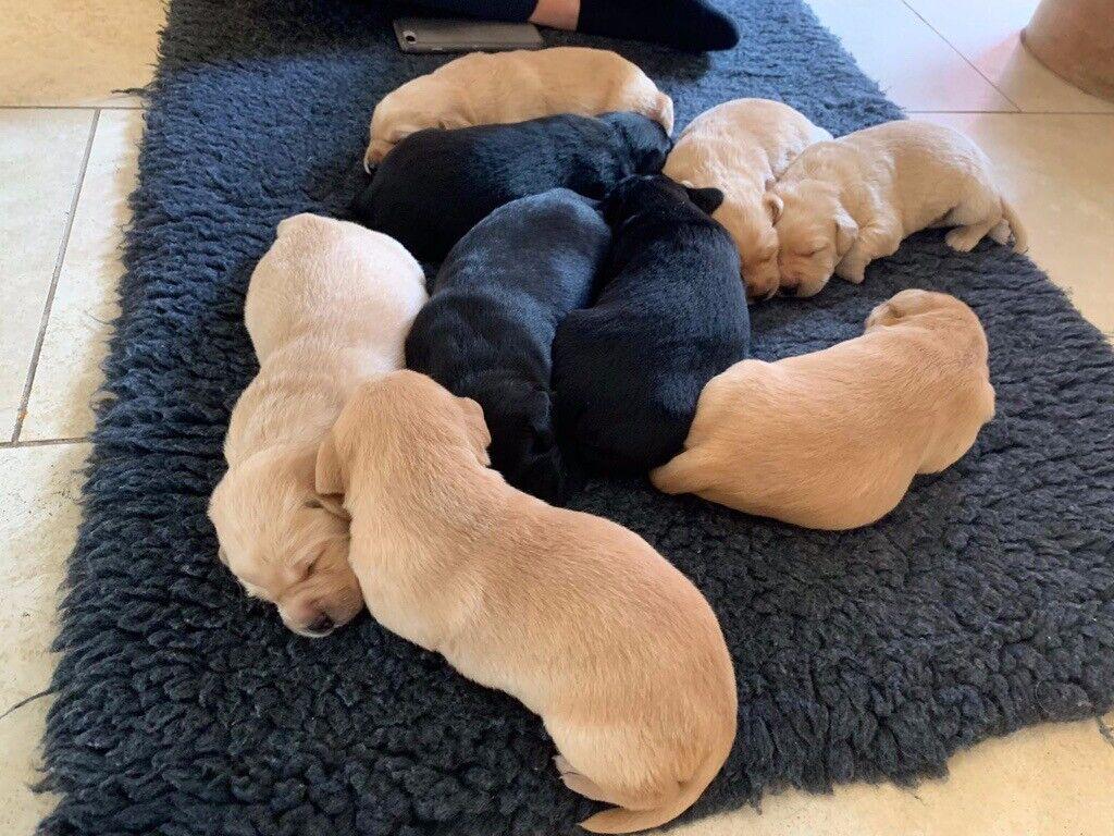 Verwonderlijk KC Registered Labrador Puppies. Field, Trial and Show Champs YQ-22