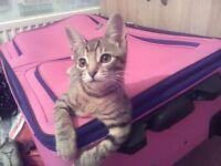 3month old female kitten