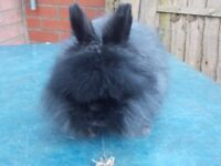 DUE MANY TIME WASTERS READEVERTISE LIONHEAD RABBIT FOR SALE