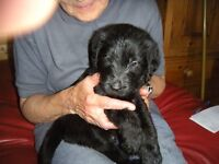 Black Labradoodle Puppies ready to go to forever homes