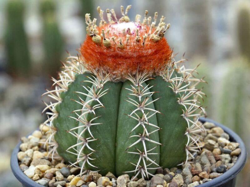 Melocactus Ernestii Cactus Samen Korn Semi Semilla Frön 種子 씨앗 Семена 10 SEEDS