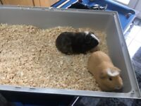 2 male guinea pigs, 1 year old