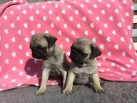 READY NOW KG REGISTERED PUG PUPPIES
