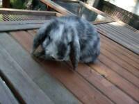 Two baby lop eared rabbits left Vaccinated against myxomatosis RHD flead and wormed