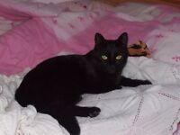 MISSING BLACK FEMALE CAT FROM HOBURNE FARM AREA HIGHCLIFFE
