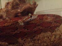 Corn snake with viv