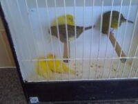 canarys show fifes 4 hens 6 cocks 100 pound the lot